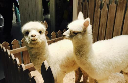 羊驼租赁一天多少钱?