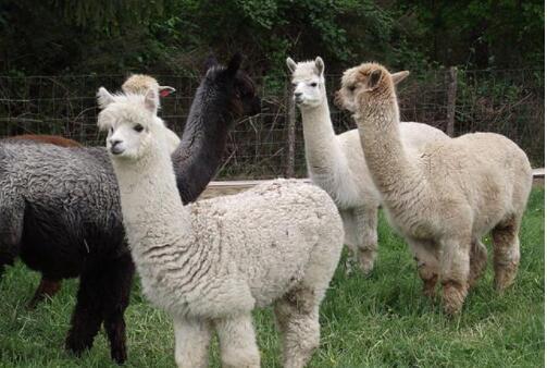羊驼可以家养吗?