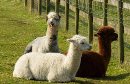 羊驼一般要怎么养?