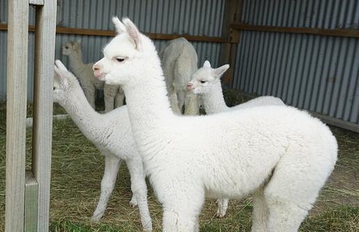 羊驼养殖风险有多大?