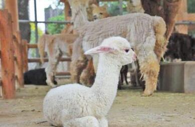 现在羊驼养殖技术主要有哪些?