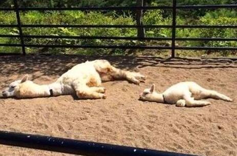 羊驼寿命一般多长?