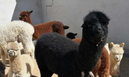 羊驼要怎么辨别公母有什么方法?