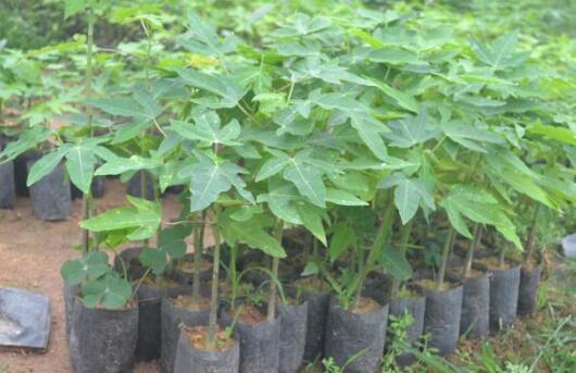 木瓜苗怎么种植方法?