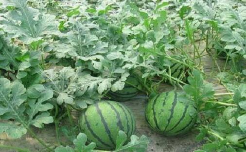 西瓜种植技术和怎么管理?