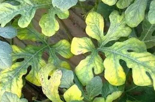 种植的西瓜叶子发黄怎么办有什么好方法?