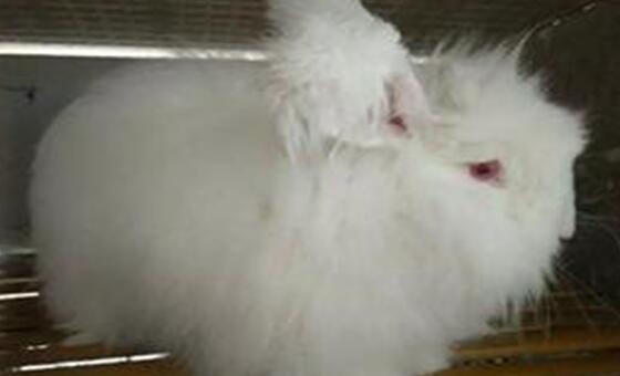 长毛兔寿命一般有多久?