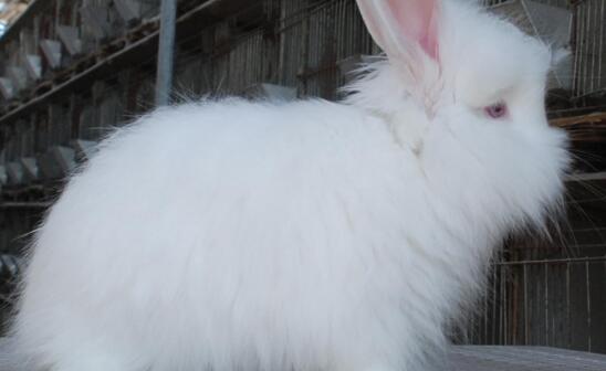 养殖长毛兔怎么催毛?