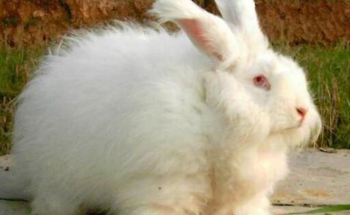 现在养长毛兔赚钱吗?