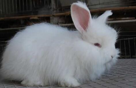 长毛兔繁殖技术有哪些?