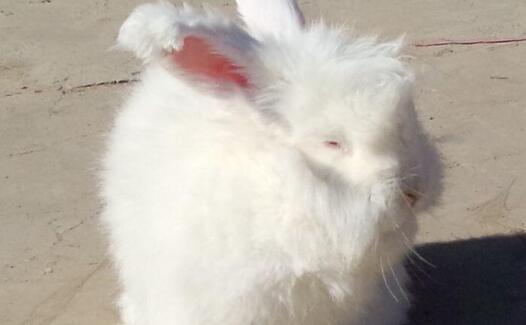目前长毛兔兔毛多少钱一斤?