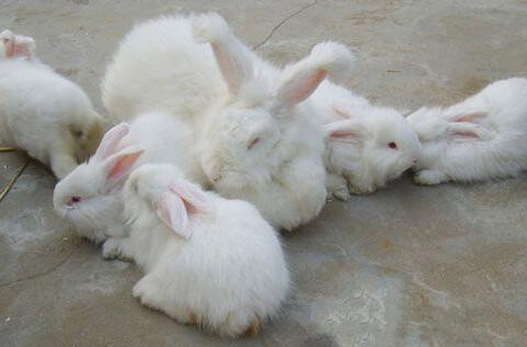 长毛兔饲料配方有哪些?