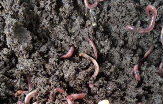 猪粪养殖蚯蚓技术技巧有哪些?