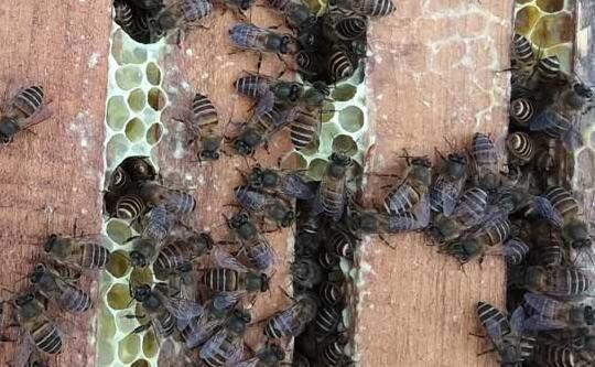 蜜蜂春繁几天喂一次花粉比较合适?