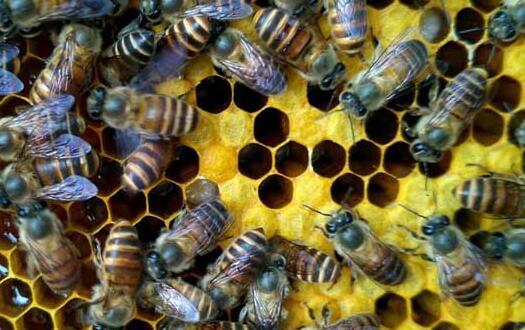 一斤花粉一般能喂多少蜂?