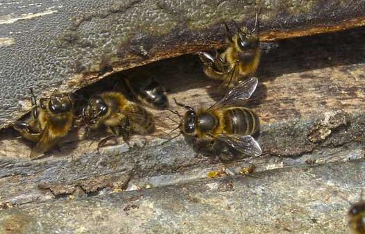 蜜蜂春繁一脾蜂几天加脾比较合适?