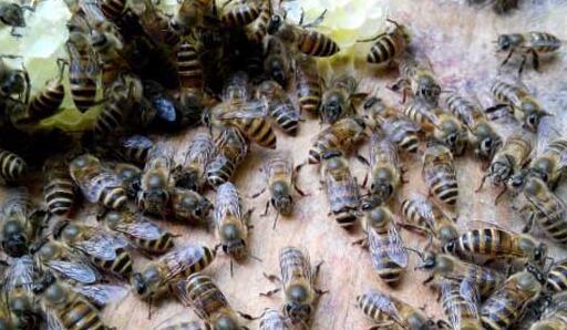 春繁蜜蜂一般怎么样做起群快?