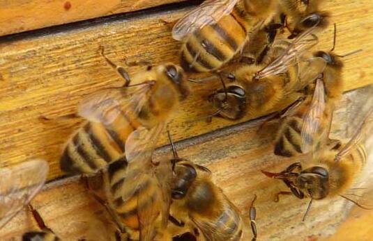 春天如何让蜜蜂快速繁殖?