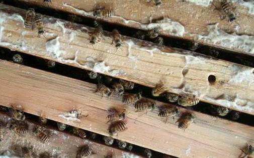 两脾蜜蜂一月可以发展到几脾?