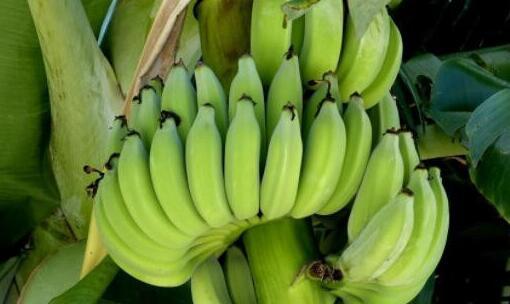 香蕉主要产地是在哪里?