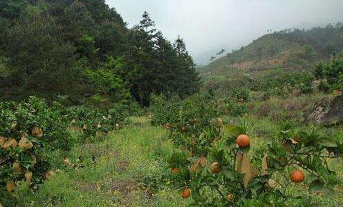 柑橘树保果技术要点有哪些?