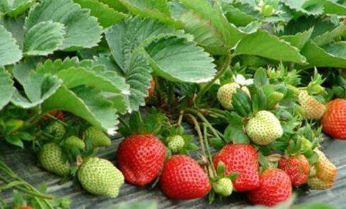 草莓立体栽培技术有哪些?