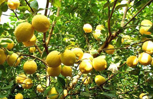 柠檬一般几月份成熟上市?