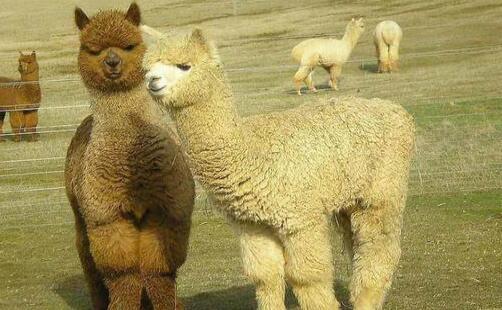 羊驼养殖技巧有哪些?