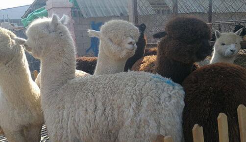 羊驼一天食量大概有多少?