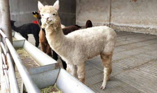 羊驼孕期一般是多长时间?