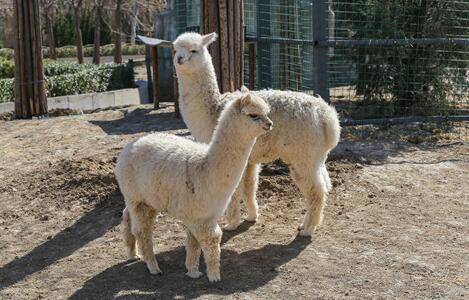 羊驼最新价格一般多少钱一只?