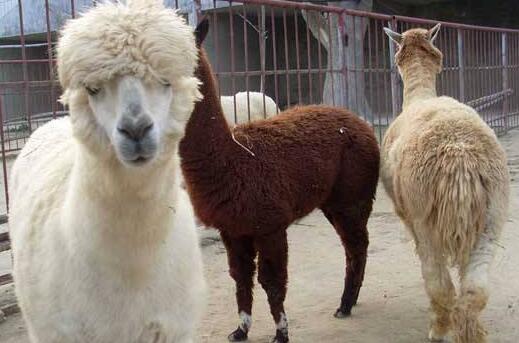 羊驼的寿命一般多长?