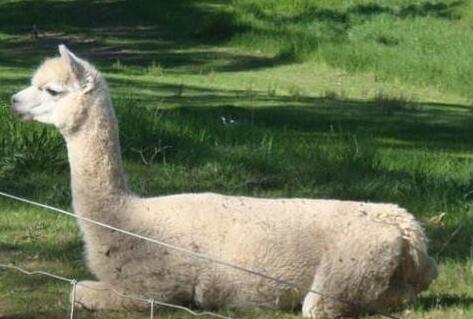 人工养殖的羊驼能骑吗?