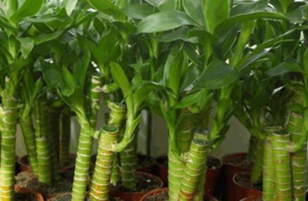 富贵竹盆栽要怎么养有哪些技巧?
