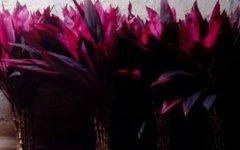 紫色像富贵竹的是什么植物?