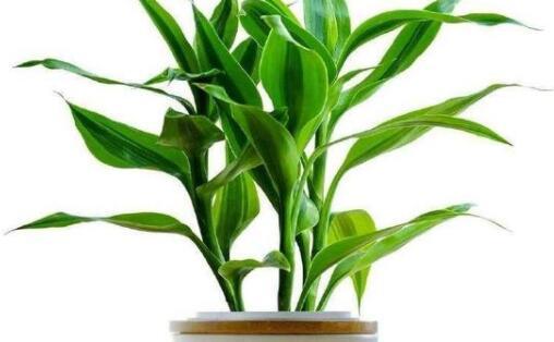 富贵竹水养技巧有哪些?