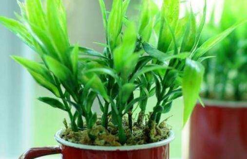 富贵竹没根可以土培吗?